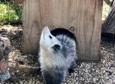Meet Our Ambassador Opossum Lucille!