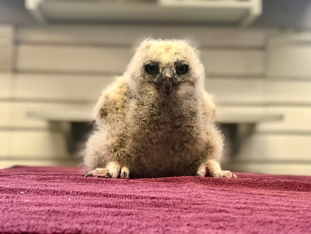 Baby Owl Success Story!