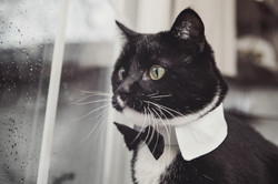 Black and White tuxedo cat wearing a bowtie looking out a window