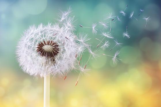 Dandelion seeds in the sunlight blowing