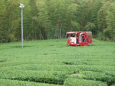 茶葉の摘み取り作業