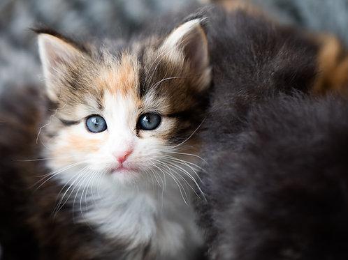 Norwegian Forest Cat Calendar 2022