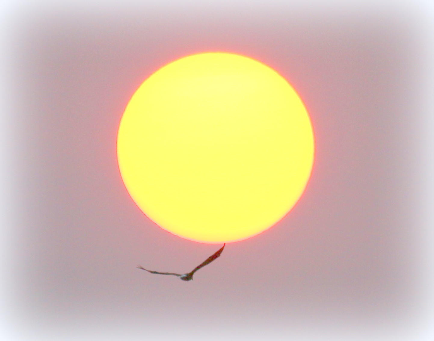 Eagle flying across the sunset