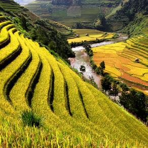 אורז בר דגן או קטניה?