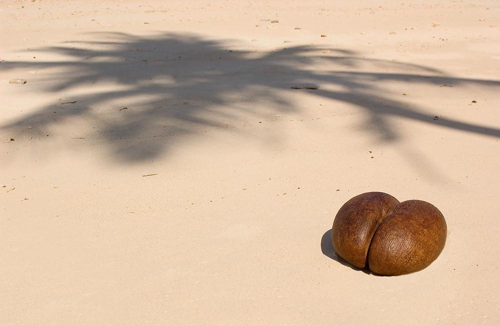 The coco de mer at Fregate Island Private.