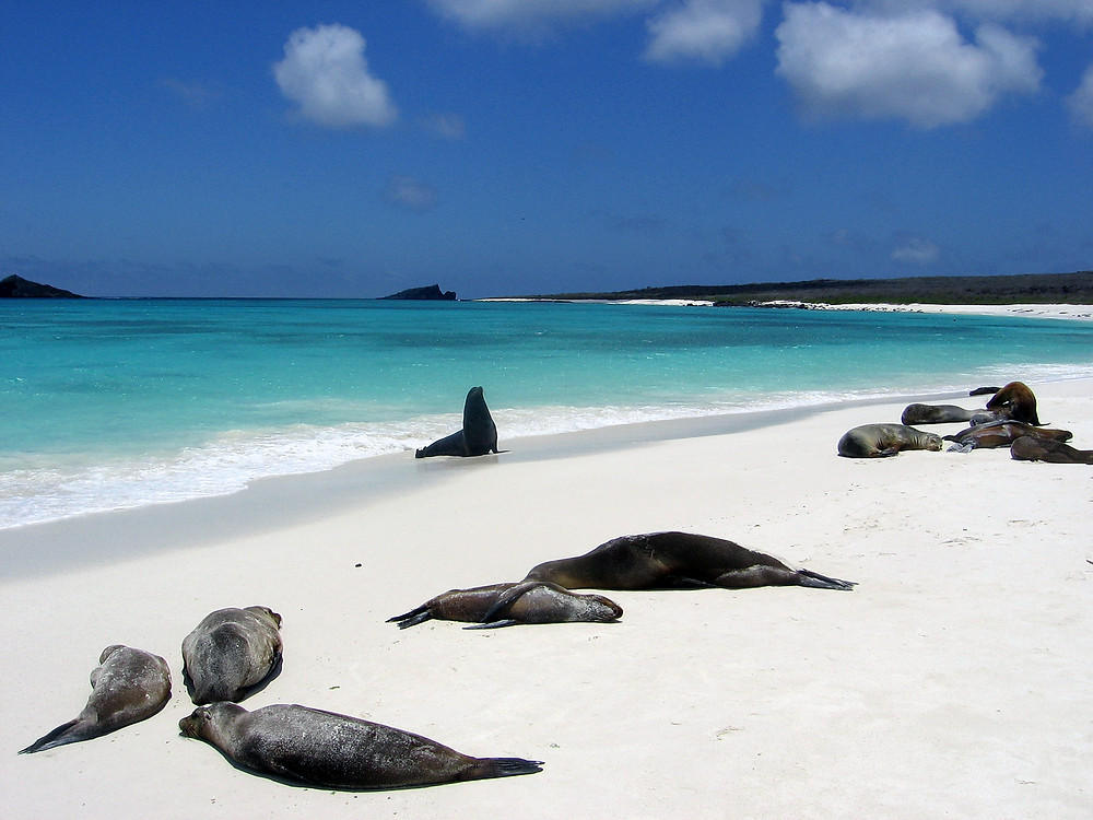 Sea Lions on the Beach in the Galapagos