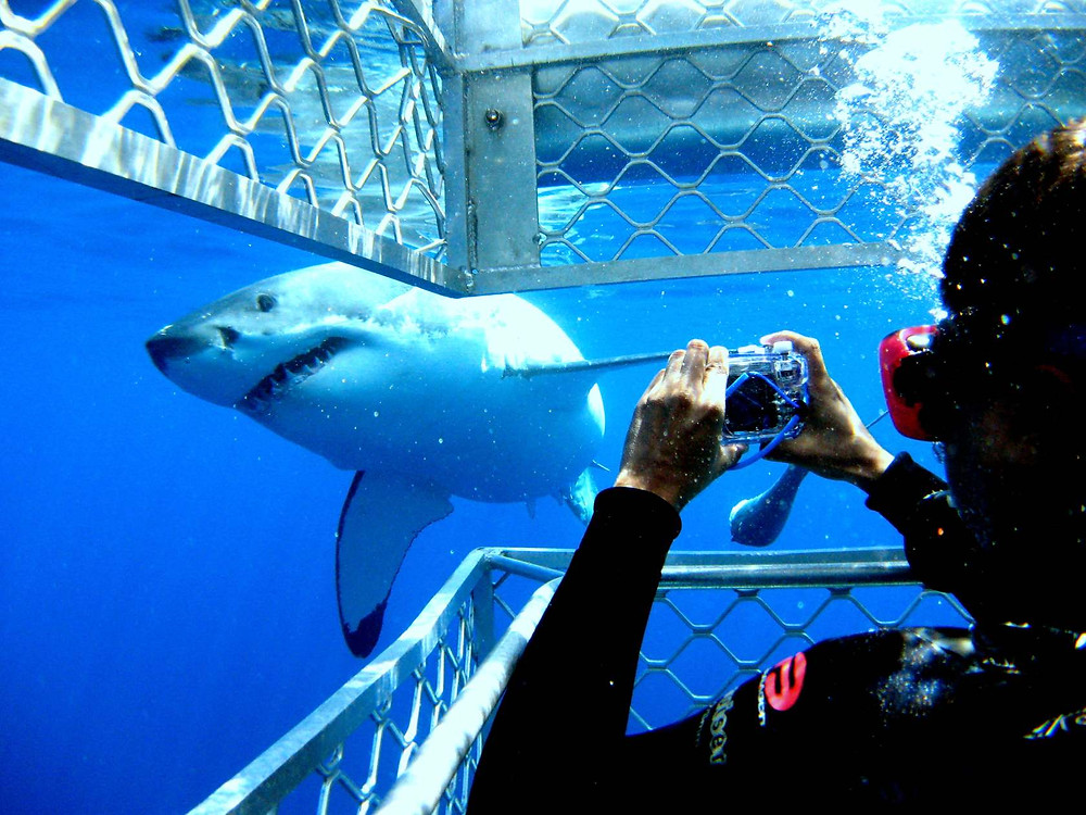 Cage Dive with Sharks