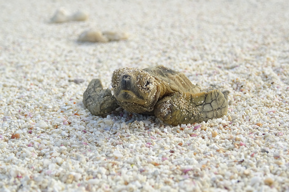 Baby sea turtle on the beach at Fregate Island Private in the Seychelles