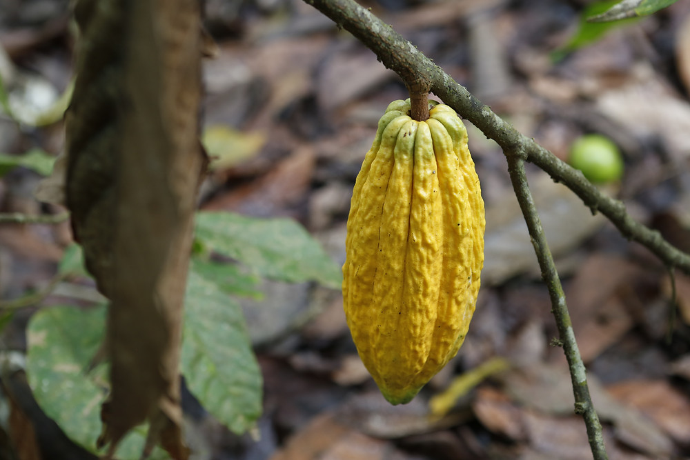 A cacao plant with Quasar Expeditions.