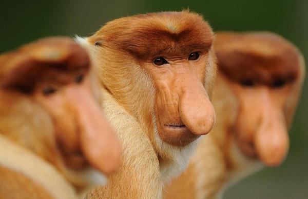 Proboscis Monkeys at Gaya Island in Malaysia