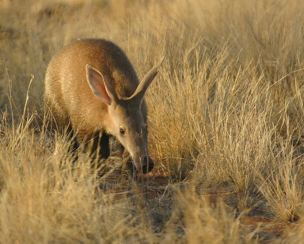 Ardvark in the Kalahari at Tswalu in South Africa