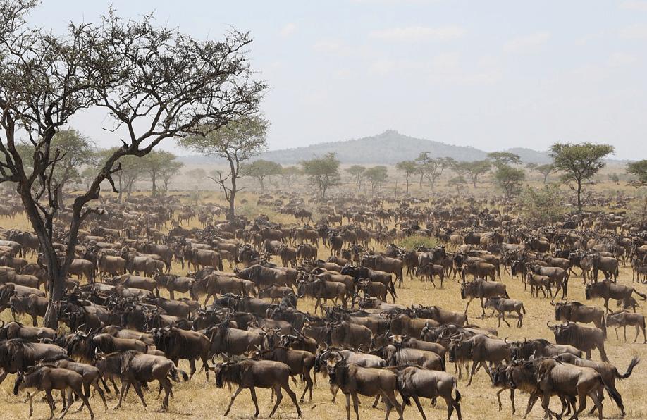 The Wildebeest migration across the Serengeti in Tanzania.