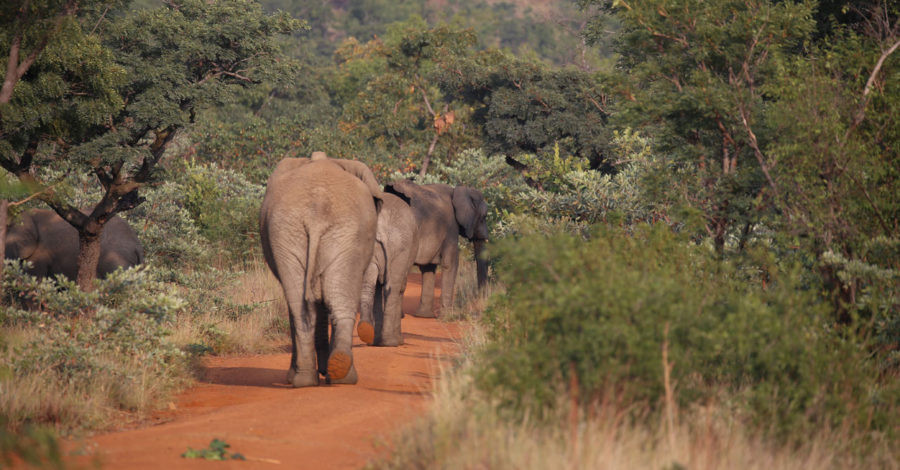 Elephants at the Shambala Private Game Reserve