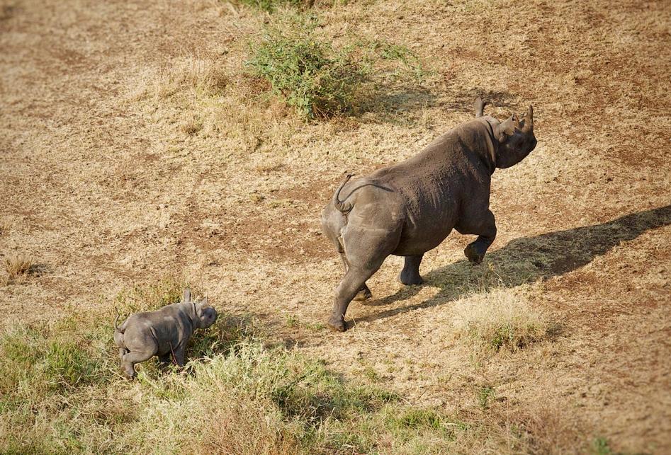 Rhinos at Singita