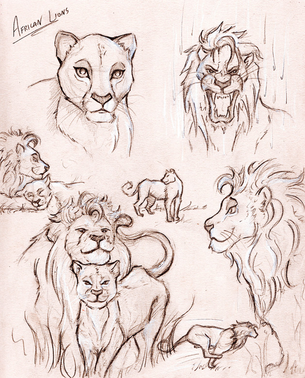 African Lion Sketches