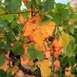 vigne sept2021 luberon (3)