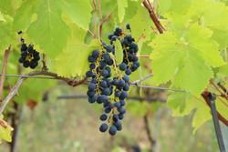 vigne sept2021 luberon (11)