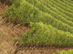 vigne de gironde (3)