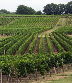 vignes de gironde (9)