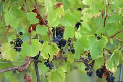 vigne sept2021 luberon (5)