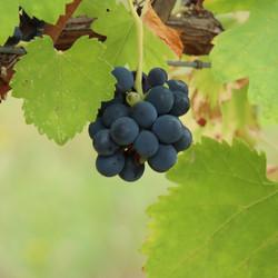 vigne sept2021 luberon (10)