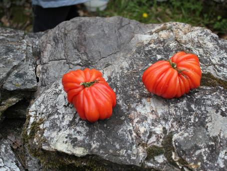 Le goût de la tomate …