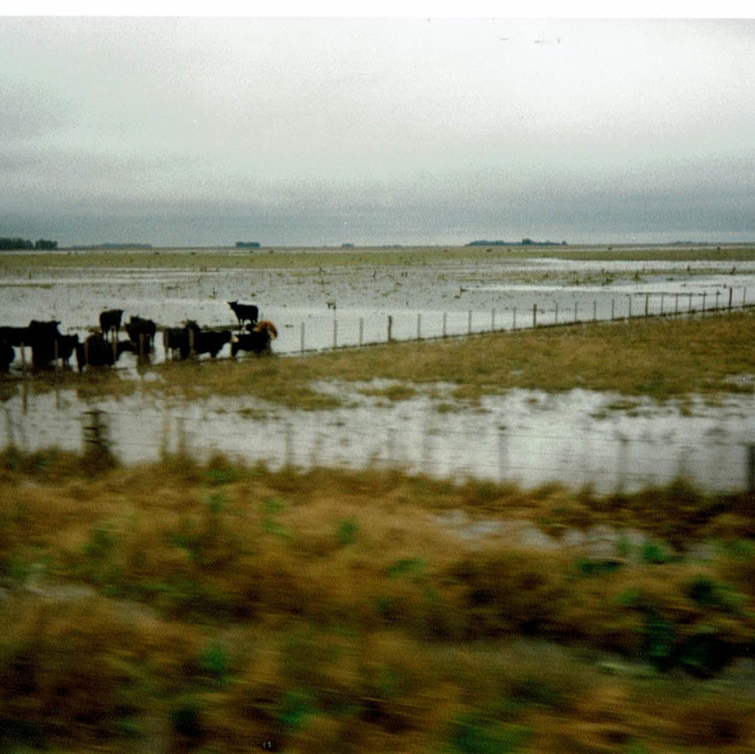Reses en la Pampa. Mayo de 1998. 2