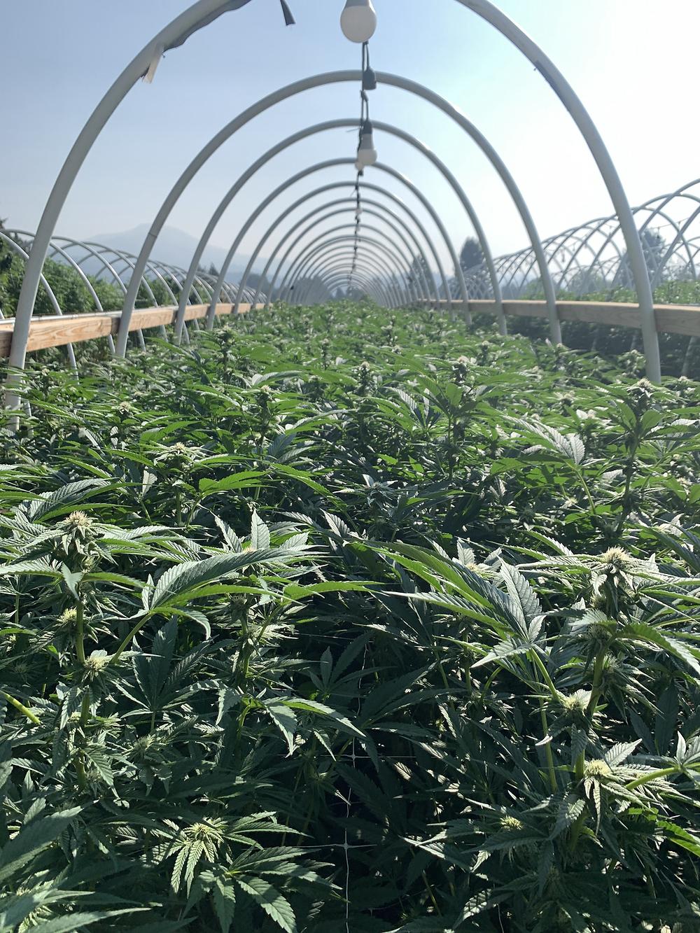 outdoor living soil cannabis farm humboldt county california