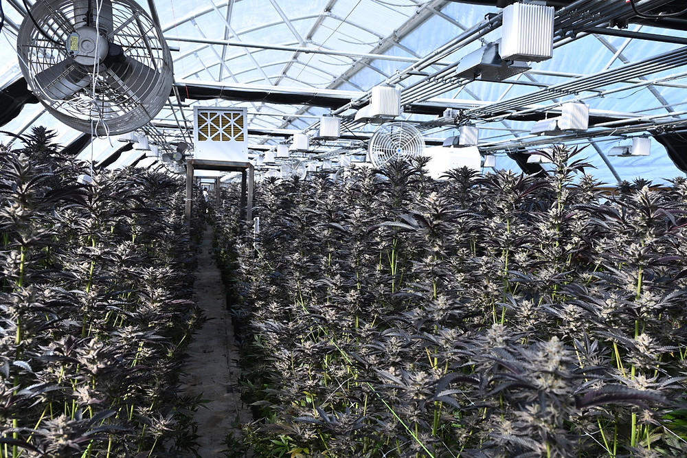 best cannabis growing on earth today