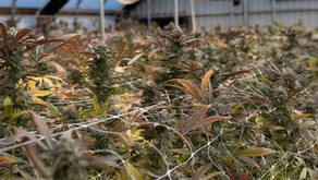Terp Theory: Some Corporate Cannabis Whistle Blowing Headlines and Possible Market Maturation?