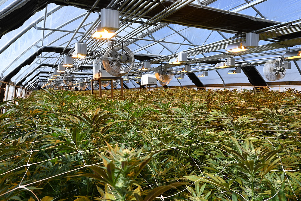 Mixed Light cannabis growing greenhouses in Humboldt County, CA