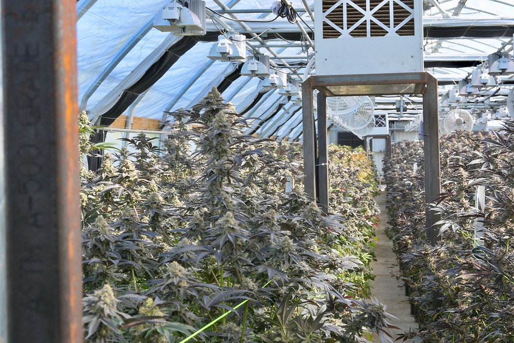 Outdoor Mixed Light Cannabis Greenhouse Full Flowering Pankcakes and Cheetah Piss