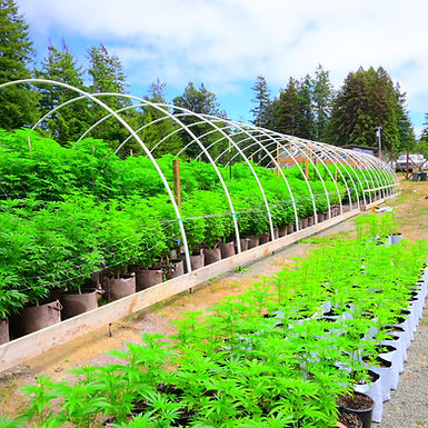 Farming & Pheno-Hunts for Hash: @SouthFaceFarms & @Uncle_Mac's Hash Flavor Factory