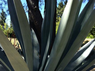 Places We Go : The Ruth Bancroft Garden