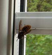 Pale wasp
