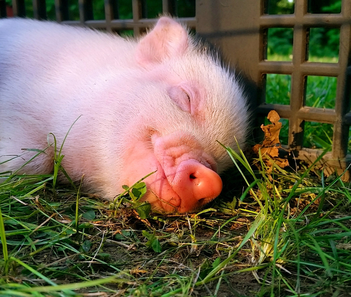 Pink Miniature Pigs