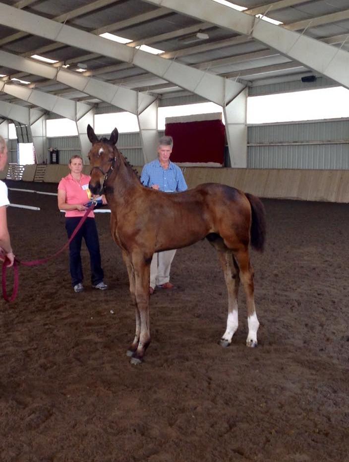 Benetton Dream colt (stallion prospect)