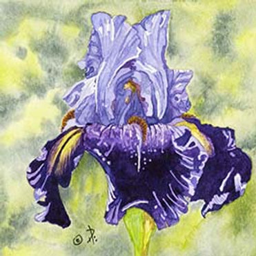 Carols Iris in Blue