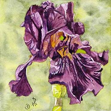 Carols Iris in Violet