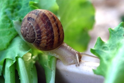 Escargot gros gris reproducteur à l'unité