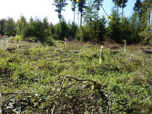 Neuaufforstung mit Nussbaumhybriden