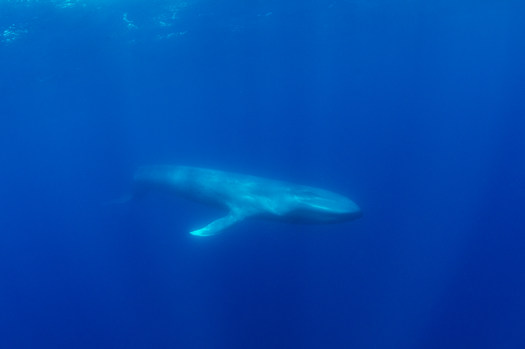 Bluexperience, blue whale , Sri lanka.jp