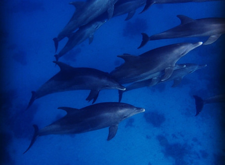 Immersion with dolphins in the Red Sea, October 2018