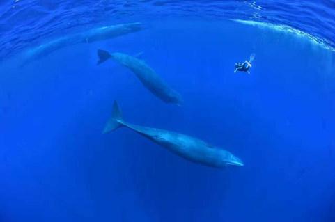 Sperm-whale,Sri lanka,Bluexperience, freediving, Molchanovs, yoga