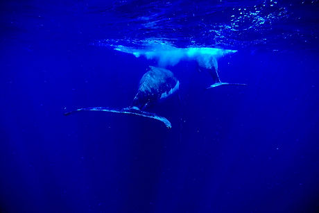 bluexperience,baleine a bosse, megaptere
