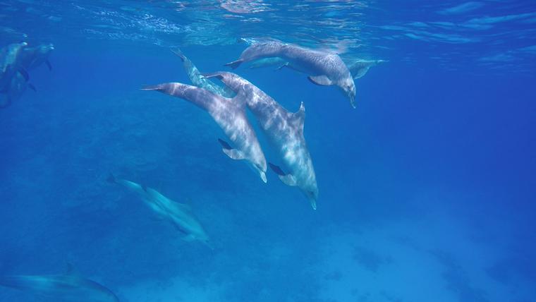 ImmersiBluexperience,Freediving,apnea,apnée,molon avec les dauphins Bluexperience