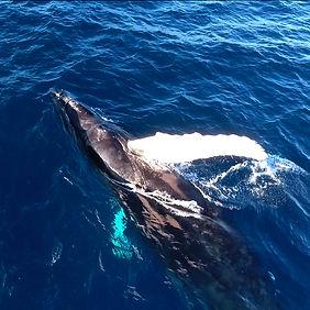 humpbackwhale2.jpg