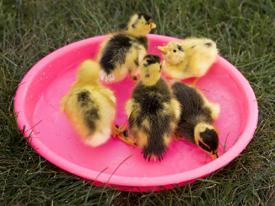 Ancona-ducklings-pink-pond-Roger-400.jpg