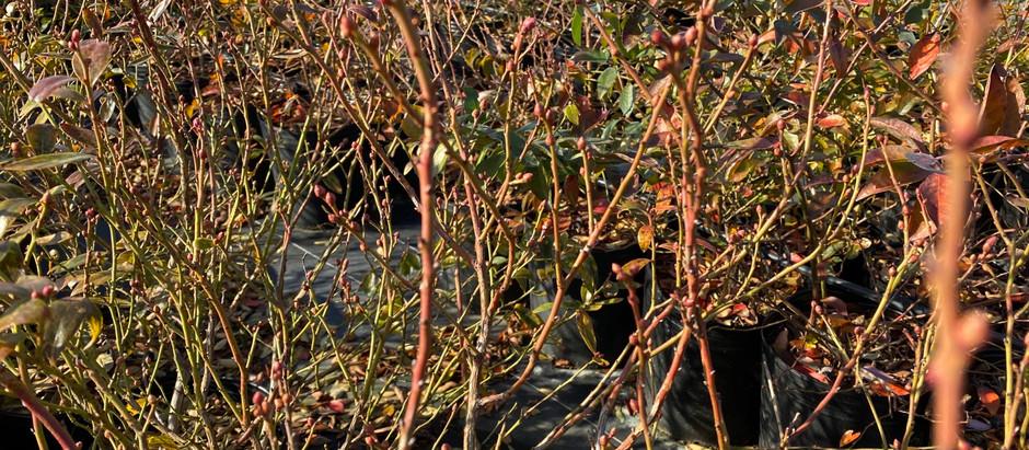 ブルーベリー花芽と葉芽