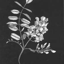 Robinia Botanica